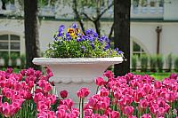Vivid Rose Tulips Around the Large Pot of Pansies