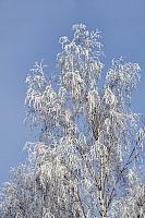 Birch Tree Branches Under the White Frost