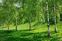 Birch Trees in Novodevichy Park