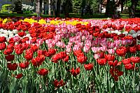 Colorful Tulips in Taynitsky Garden