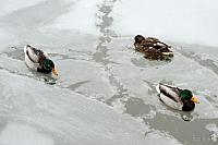 Pretty Ducks in Freezing River