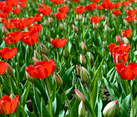 Red Tulips in name of The Great Victory