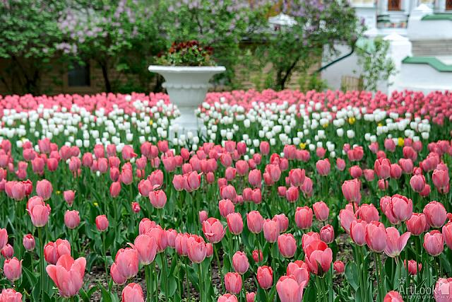 Beautiful Bright Pink and White Tulips on the Grounds of Lavra