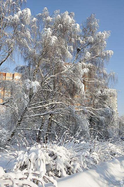 Covered Snow Trees in Odintsovo Park