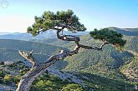 Sudak Pine Tree Over the Mountains