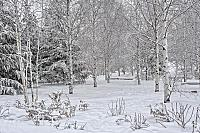 Birch Trees in Snow in Zaryadye Park