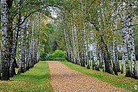 Preshpekt in Autumn – The Avenue of Birch Trees at Yasnaya Polyana