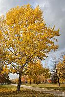 Golden Yellow Tree in Tsaritsyno