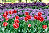 Colorful Tulips in Kremlin Garden in Spring