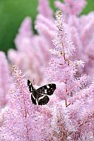 Butterfly on Astilbe