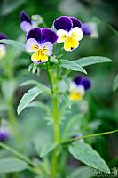 Small Pansies – What a Showy Couple!