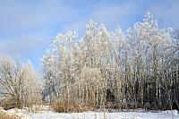 Birch Trees in Silver