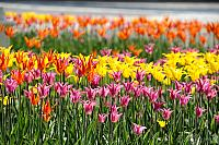 Colorful Lily-flowered Tulips in the Tainitsky Garden