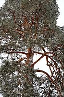 Branches of Pine Tree Covered in Snow
