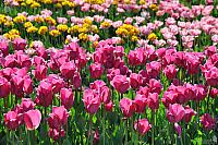Flower Bed with Pink Tulips in Novorossiysk