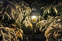 Spruce Branches and Garden Light Covered Snow in Winter Night